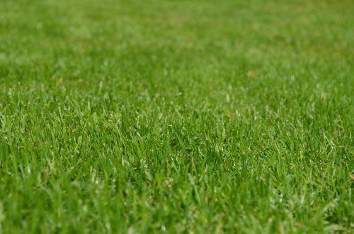 rush meadow ornamental grass