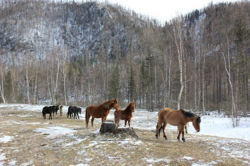 russia siberia horses