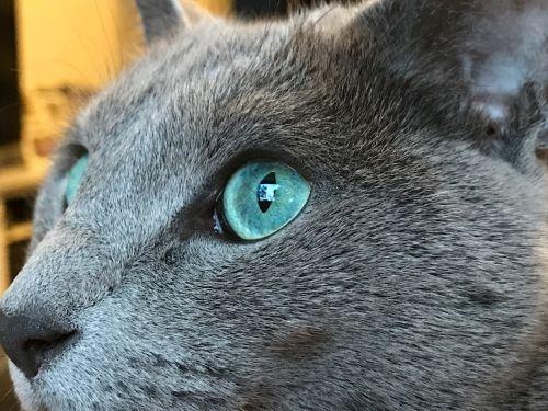 russian blue cat grey
