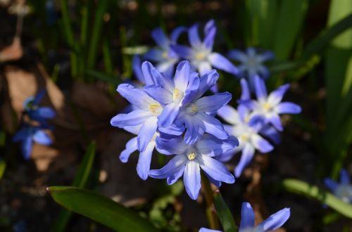 russian blue star flower flowers