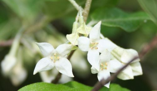 russian olive elaeagnus angustifolia white