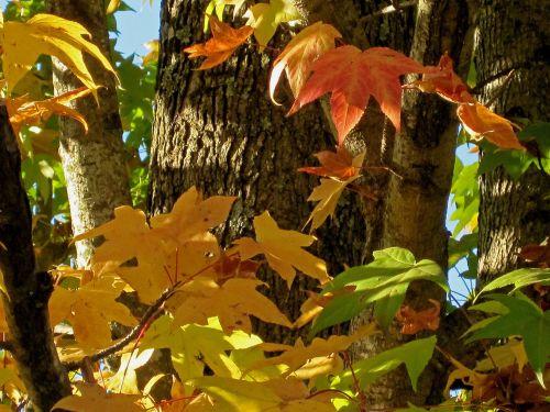 medžiai, lapai, žalias, rūdys, geltona, keičiasi, ruduo, sezonas, rūdys ir geltonos rudens lapai