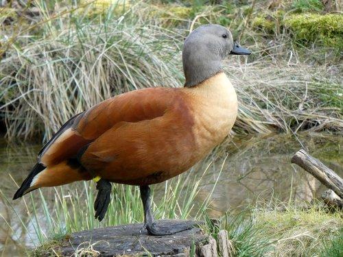 rust goose  tadorna ferruginea  goose