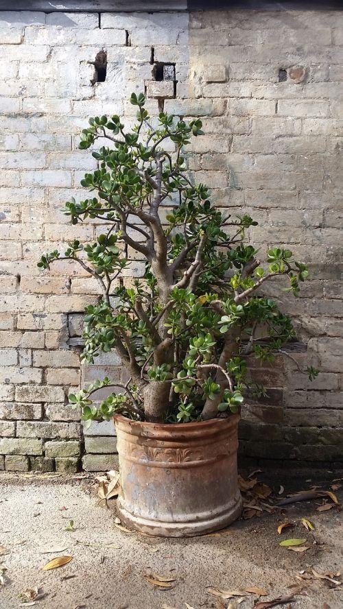 crassula ovata potted plant money tree