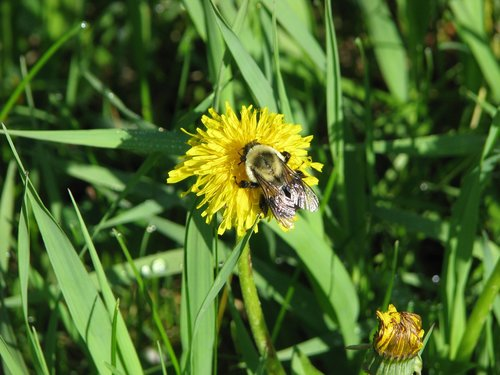 rusty patched bumblebee  bombus affinis  endangered