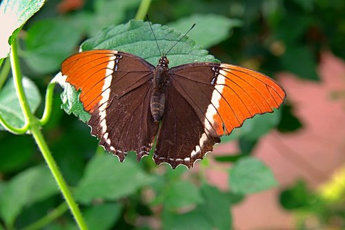 rusty-tipped page butterfly  wings  black