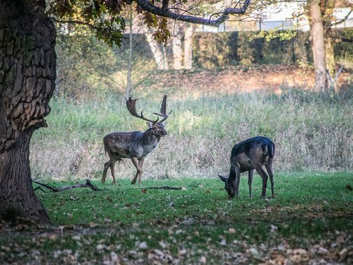 rut  fallow deer  animals