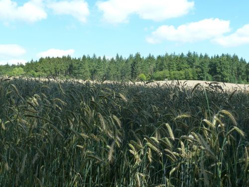 rye cereals arable