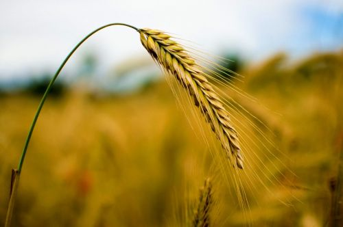 rye cereals wheat
