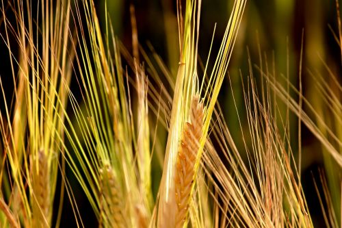 rye cereals spike