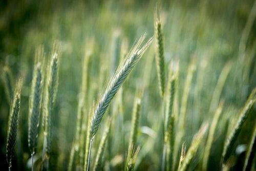 rye  cereals  field