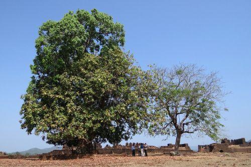 sacred tree shrine mirjan fort