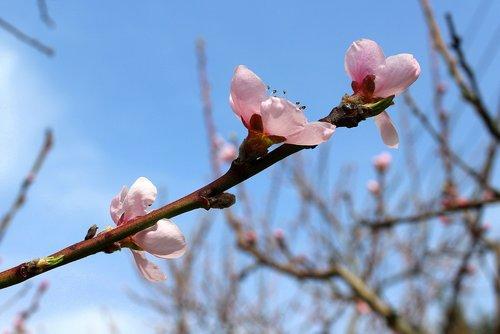 sad  peach  peach blossom
