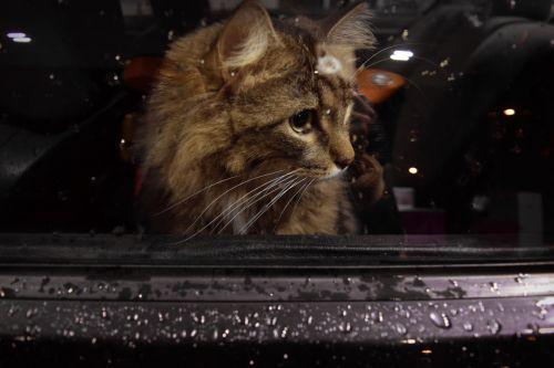 Sad Cat In The Car