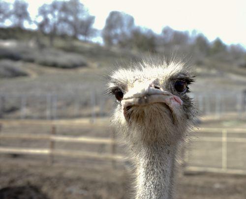 Sad Face Ostrich