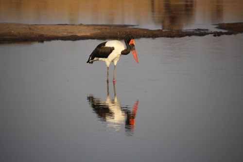 saddle billed stork zimbabwe bird