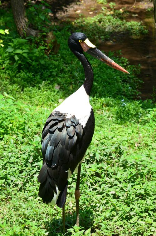 saddlebill stork bird stork