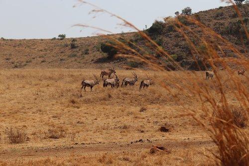safari  africa  nature