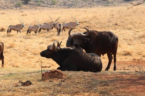 safari  africa  buffalo