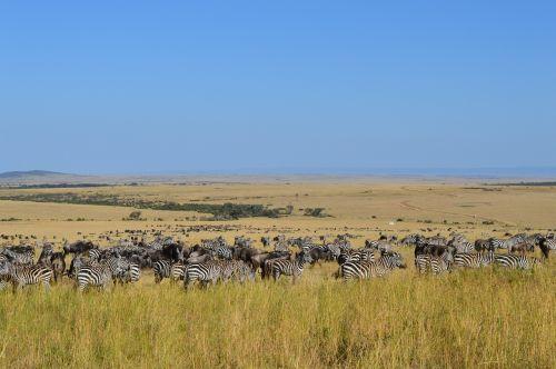 safari zebra wildlife