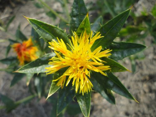 safflower flower yellow
