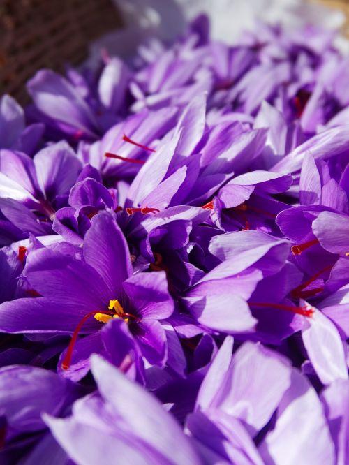 saffron crocus sativus harvest