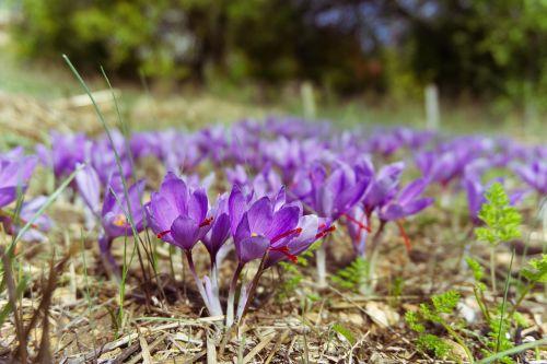 saffron crocus sativus saffron flower