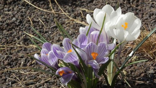 saffron crocus flowering šafrány