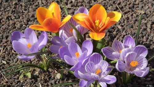 saffron crocus tulip