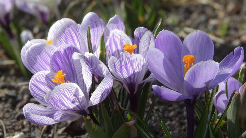 saffron crocus purple flowers