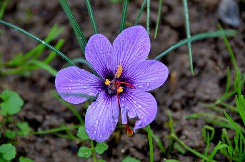 saffron  spice  flower