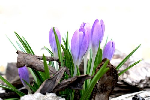 saffron  spring  purple