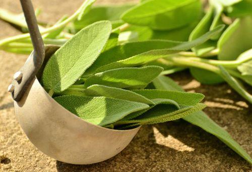 sage herbs culinary herbs