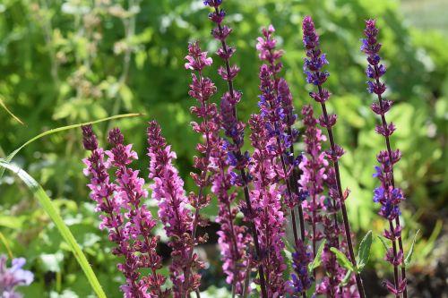 sage perennial flower