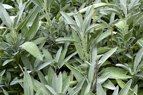 sage  plant  flora