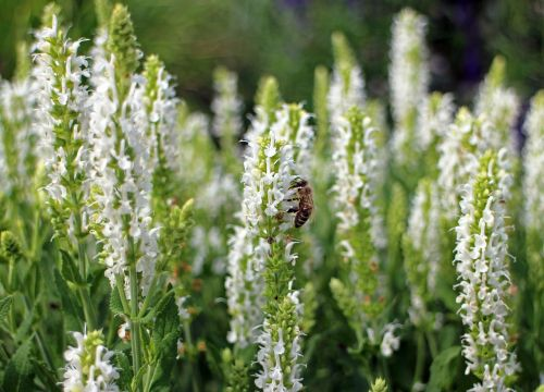 sage,white,garden sage,shrub,ornamental plant,lamiaceae,blossom,bloom,medicinal plant,scented plant,garden plant,garden spice plant,crop,wild plant,bee,pollination,insect