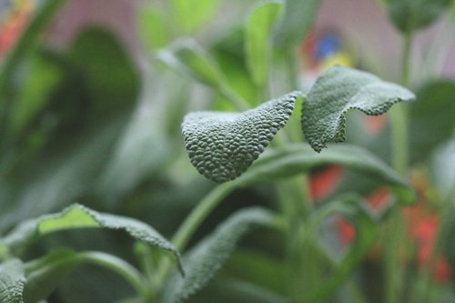 sage  herbs  nature