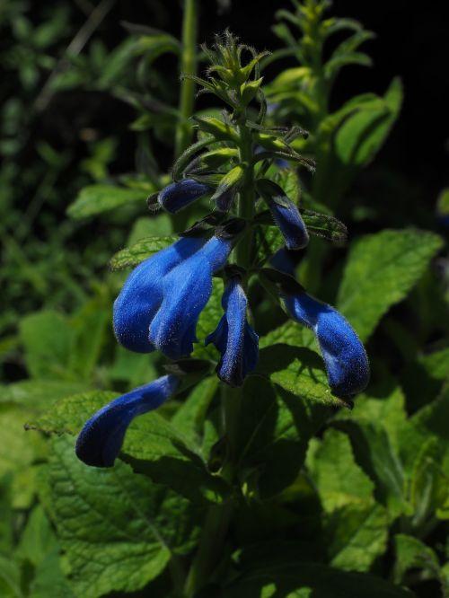 sage flowers blue