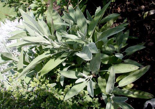 sage bush plant