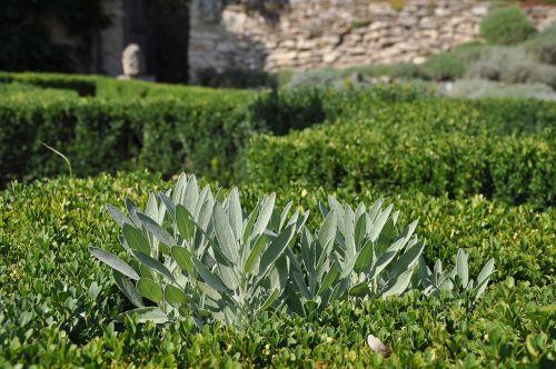 sage medicinal herbs montana