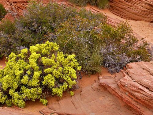 sage brush bush nature