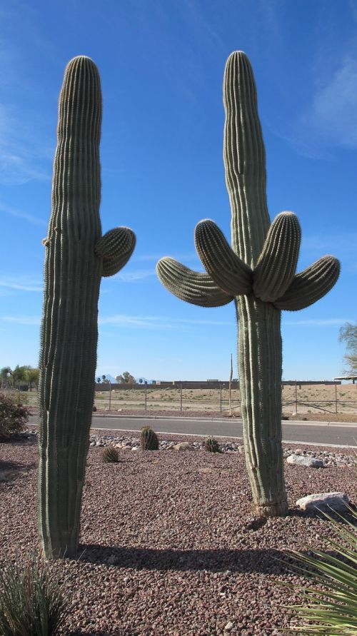 saguaro desert plants cactus