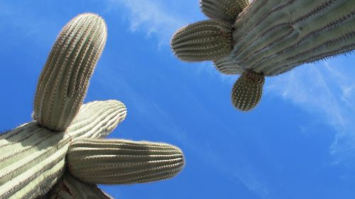 Saguaro,kaktusas,dykuma,tucson,Arizona,Sonoran dykuma,chihuahuano dykuma