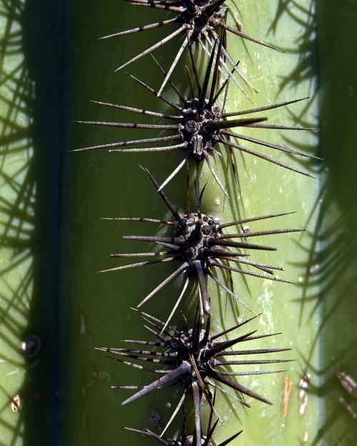 saguaro spines  cactus  arizona