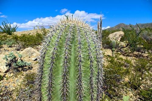 saguaro top  cactus  arizona