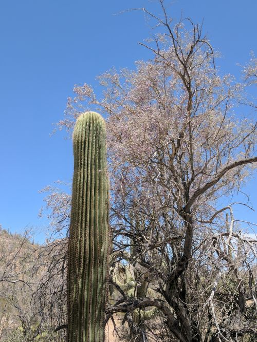 dykuma, kaktusai, kaktusas, Saguaro, Arizona, Saguaros kaktusas