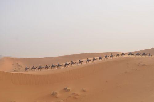 sahara camels morocco