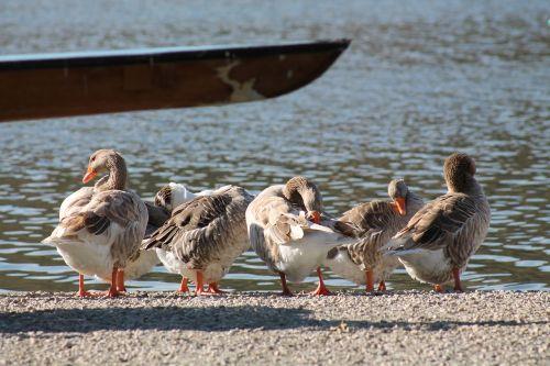 sail ducks lacquer