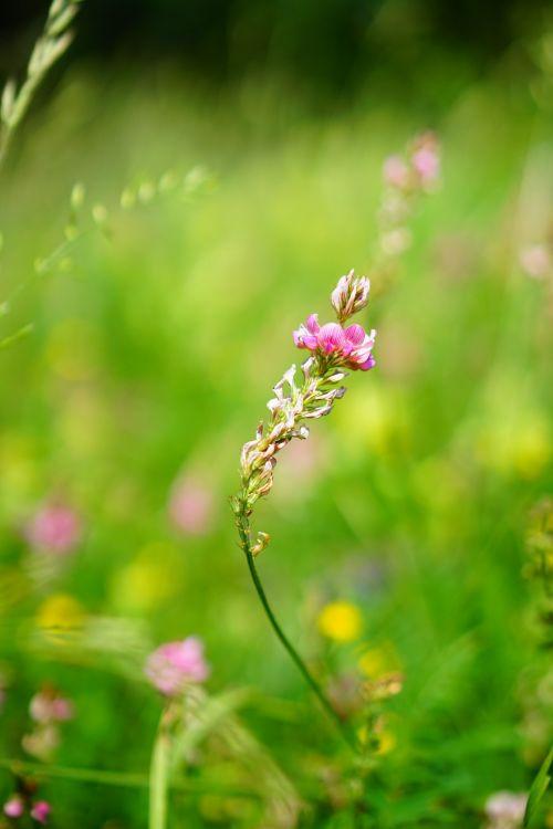 sainfoin flower blossom