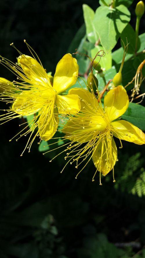 saint john's wort plant flowers summer